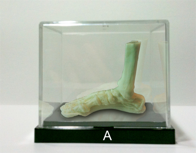 ecorche foot display case
